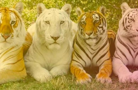 4 tigers in a row